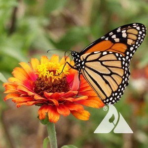 Monarch Butterfly Garden Pollinator Seed Mix