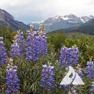 High Mountain Pollinator Seed Mix