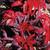 Molton Fire Amaranthus