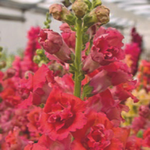 Madame Butterfly Bronze Snapdragon