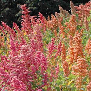 Organic Brighest Brilliant Rainbow Quinoa