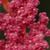 Red Head Quinoa