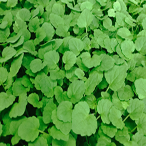Anise Micro Greens