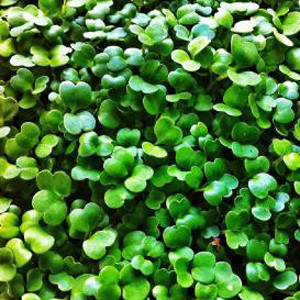 Arugula Rocket Micro Greens