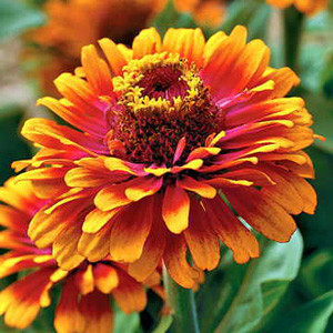Zowie Yellow Flame Zinnia