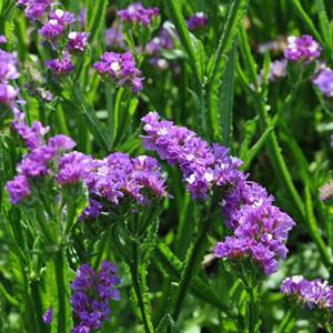 Statice QIS Purple