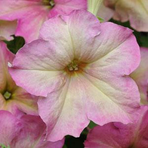 Sophistica Antique Shades Petunia Seeds