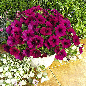 Ramblin Burgundy Chrome Trailing Petunia