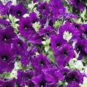 Ramblin Nu Blue Trailing Petunia