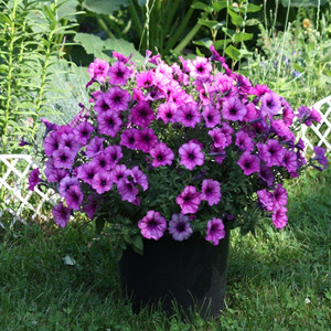 Ramblin Sugar Plum Trailing Petunia