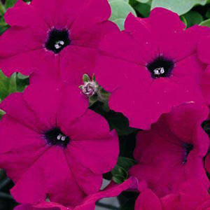 Ramblin Violet Trailing Petunia