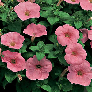 Ramblin Peach Glo Trailing Petunia