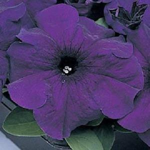 Super Cascade Blue Petunia