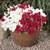 Super Cascade Red Petunia