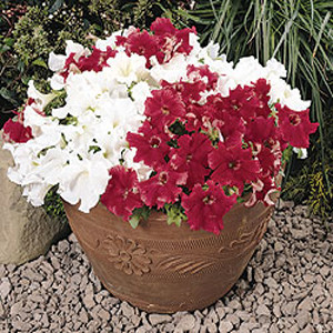 Super Cascade Red Petunia
