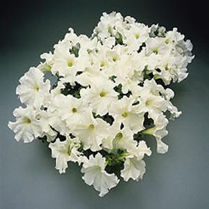 Super Cascade White Petunia