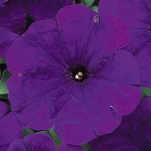 Carpet Blue Petunia