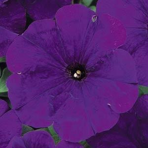 Carpet Blue Petunia