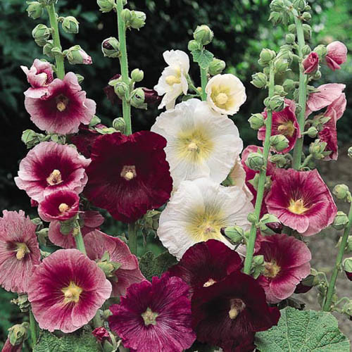 Indian Spring Hollyhock