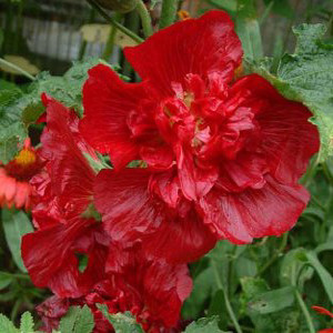 Queeny Red Dwarf Hollyhock Seeds Perennial Seeds