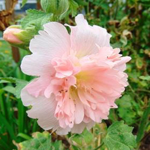 Queeny Salmon Dwarf Hollyhock