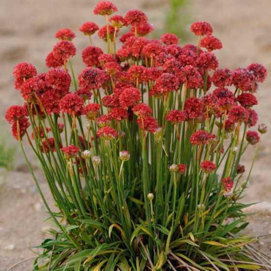 Ballerina Red Armeria Seeds