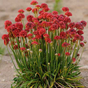Ballerina Red Armeria Seeds