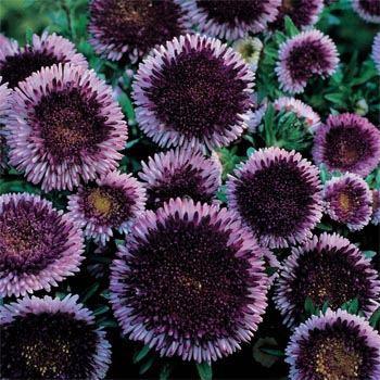 Bluemoon Aster Seeds