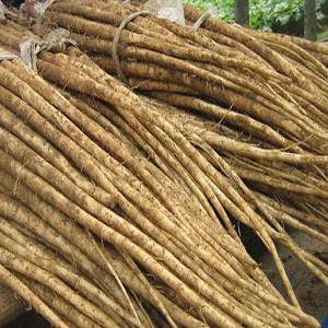 Burdock - Edible Root Salada Musume  Asian Vegetable