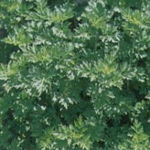 Mugwort-Leafy Japanese Yomogi Kui - Asian Vegetable