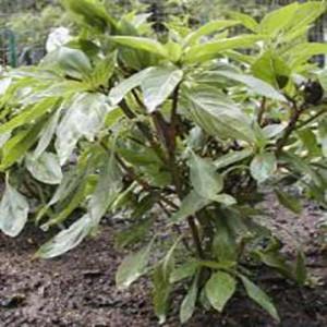 Basil Leafy Thai Red Stem - Asian Vegetable