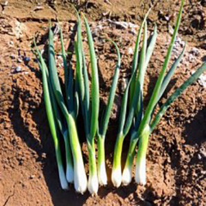 Onion Bunching Tokyo Long White- Asian Vegetable