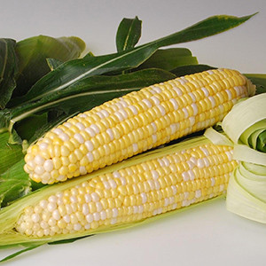 Sweetness-Bi-Color -Treated F1 -SE-Sh2 Sweet Corn