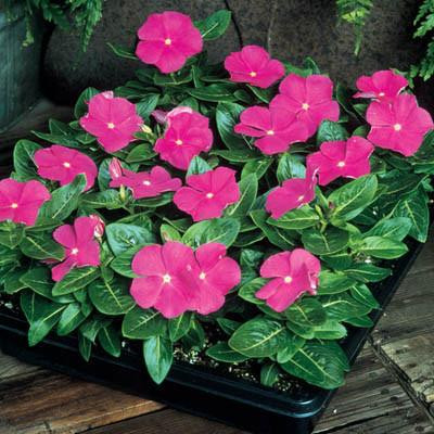 Pacifica  XP Deep Orchid  Vinca Seeds-Spreading