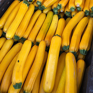 Gold Bar Summer Squash