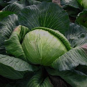 Late Flat Dutch Cabbage