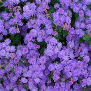 Hawaii Blue Ageratum Seeds