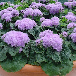 Diamond Blue Ageratum Seeds