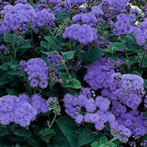 Fields Blue Ageratum Seeds