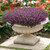 Golf Violet Alyssum Seeds
