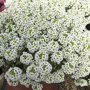 Wonderland Gigi White Alyssum Seeds