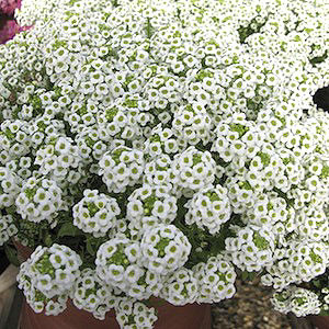 Wonderland Gigi White Alyssum Seeds