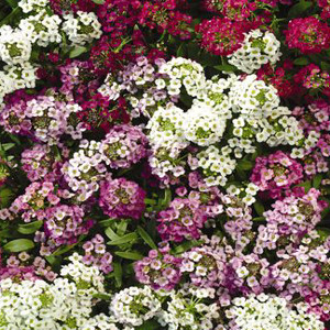 Easter Bonnet Formula Mix Alyssum Seeds