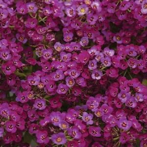 Clear Crystal Purple Shades Alyssum Seeds