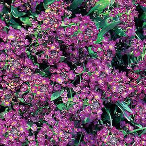 Aphrodite Regal Violet Alyssum Seeds