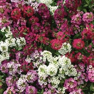 Easter Basket Mix Alyssum Seeds