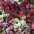 Easter Basket Mix Alyssum Seeds