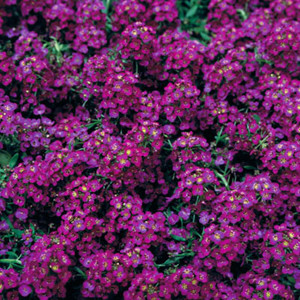 Wonderland Deep Purple Alyssum Seeds