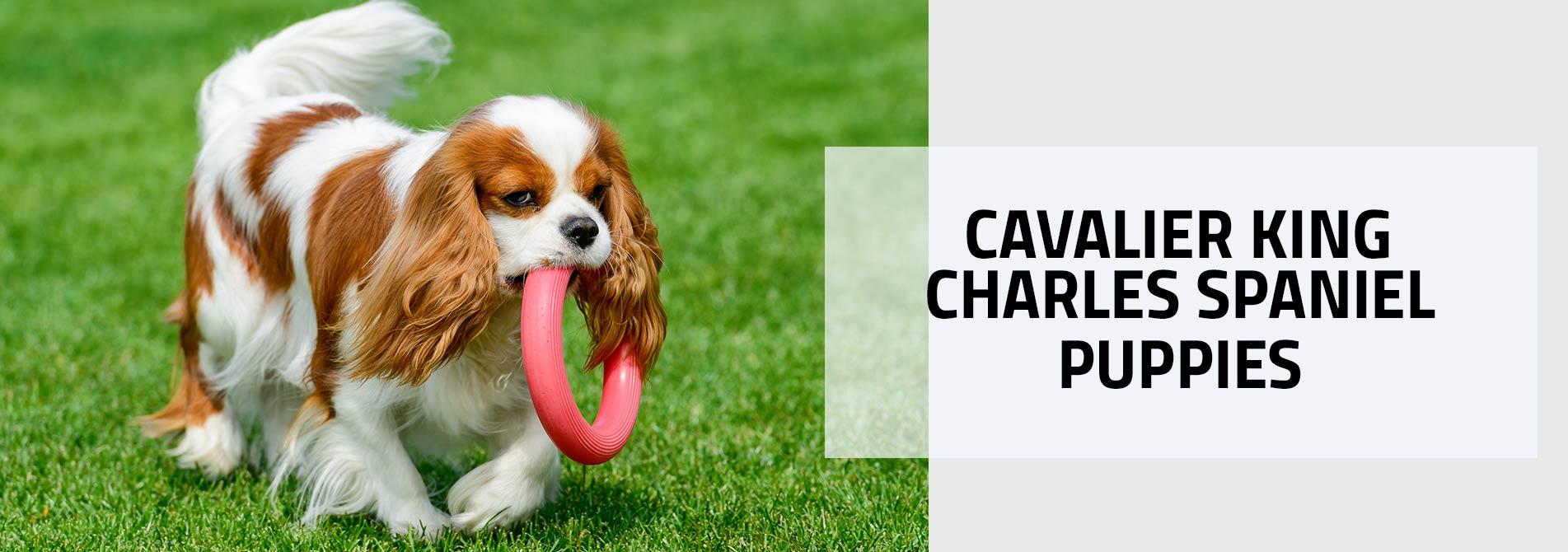 Cavalier Spaniel puppy