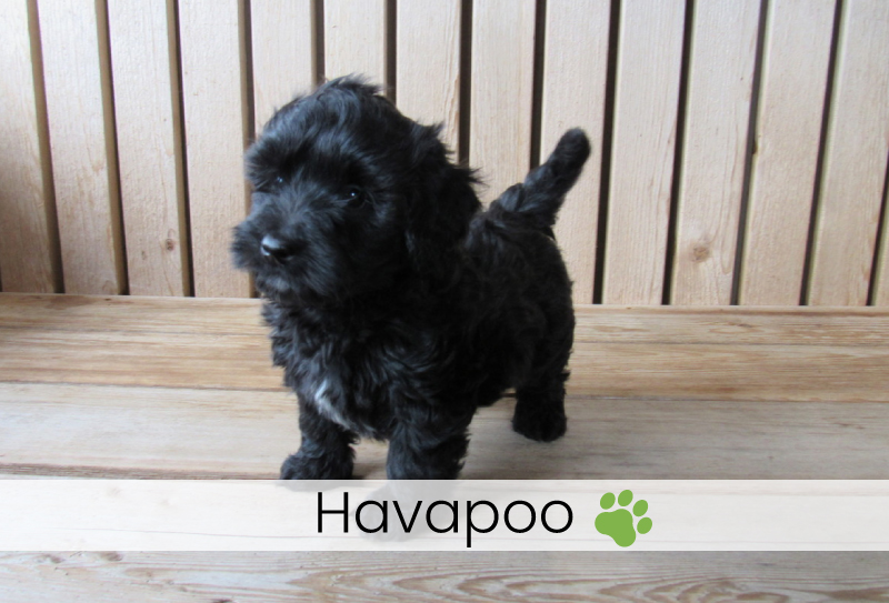 AKC Puppies For Sale | Kate's Puppies in Ohio